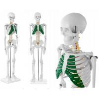Модель-макет скелет людини 85 см